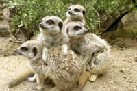 Meerkats at Drusillas.jpg